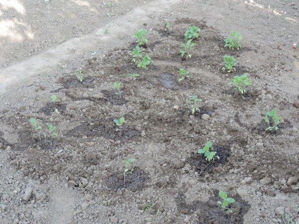 Bakłażany wysiane do gruntu