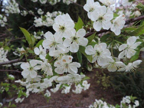 Wiśnia okryła się białym kobiercem