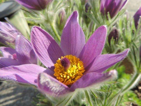 Trująca piękność - kwiat i zioło zarazem