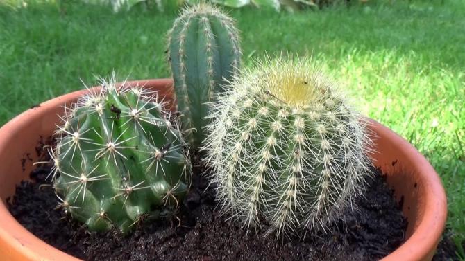 Doniczka z kaktusami