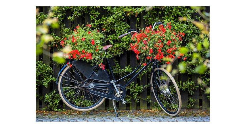 Pelargonia - roślina o wielu obliczach