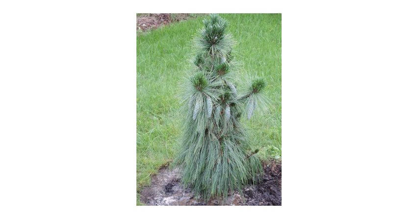 Pinus schwerinii Wiethorst