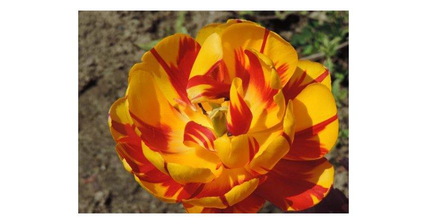 Tulipany - mnogość kształtów i kolorów