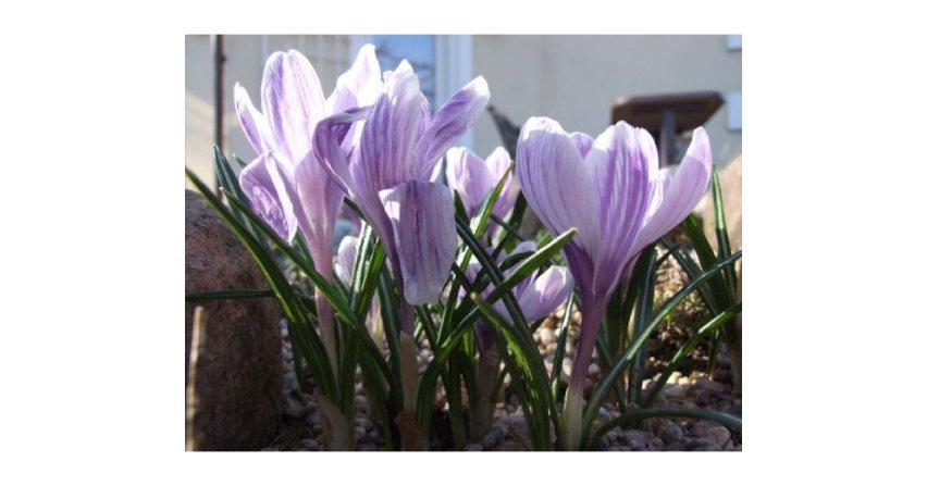 Pierwsze kwiaty w ogrodzie
