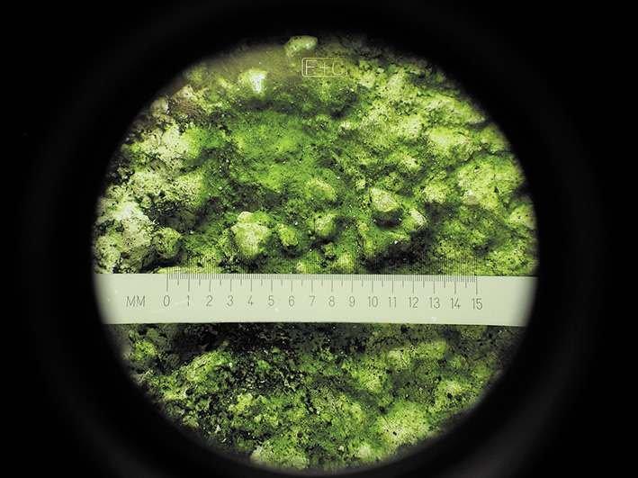 Porażenie biologiczne wyprawy tynkarskiej widziane pod mikroskopem, na zdjęciu rozwój kolonii alg; fot. SSO