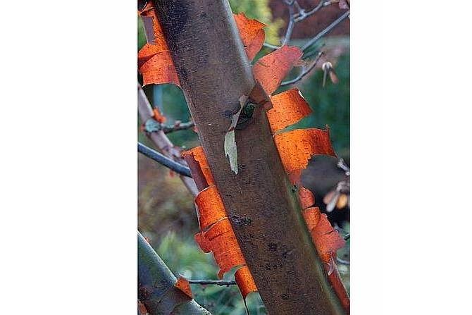 Klon cynamonowy Fot. Plant Publicity Holland
