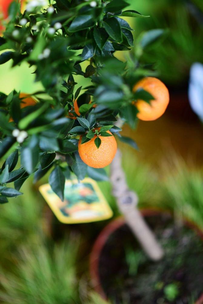Miniatura drzewka pomarańczowego