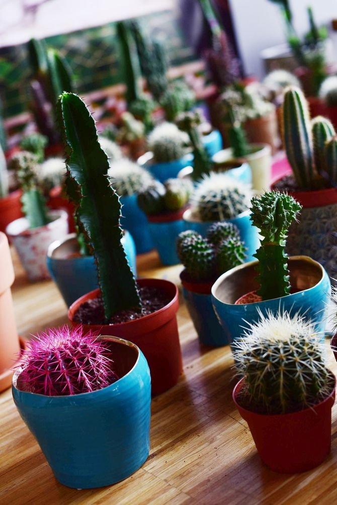 Efektownie wyglądają różnego kształtu kaktusy w kolorowych doniczkach