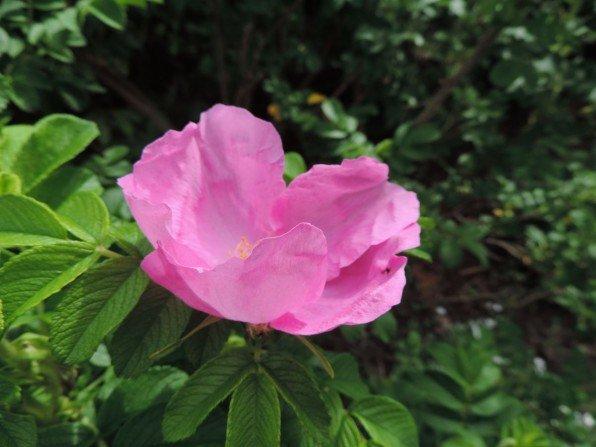 W ogrodzie zakwitły róże Fot. Franciszek Rochowczyk