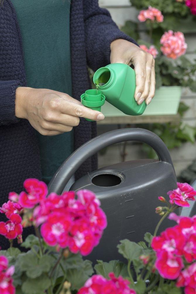 Regularne usuwanie zwiędniętych kwiatów i liści oraz przesuszonych pędów sprawia, że roślina wygląda lepiej, jest zdrowsza i stymulowana do tworzenia nowych kwiatów.