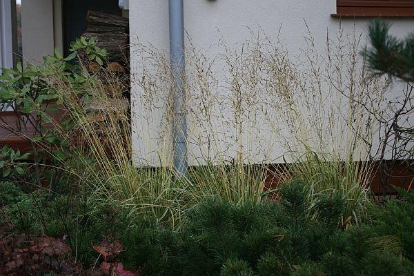Znad karłowych kosodrzewin wystają wiechy żółtopaskowanej trawy – trzęślicy modrej