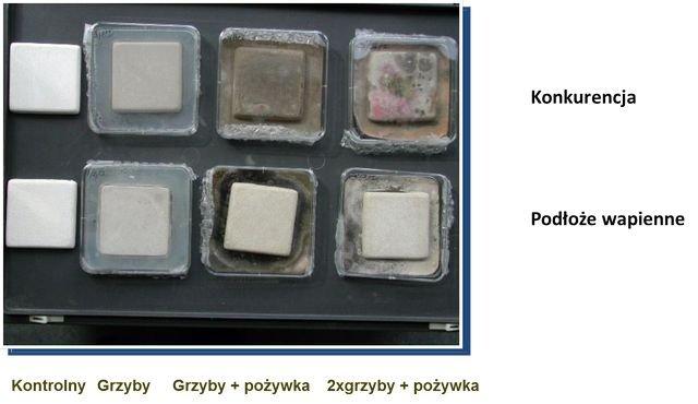 Porównanie oddziaływania grzybów na podłoże z wapnem i bez wapna