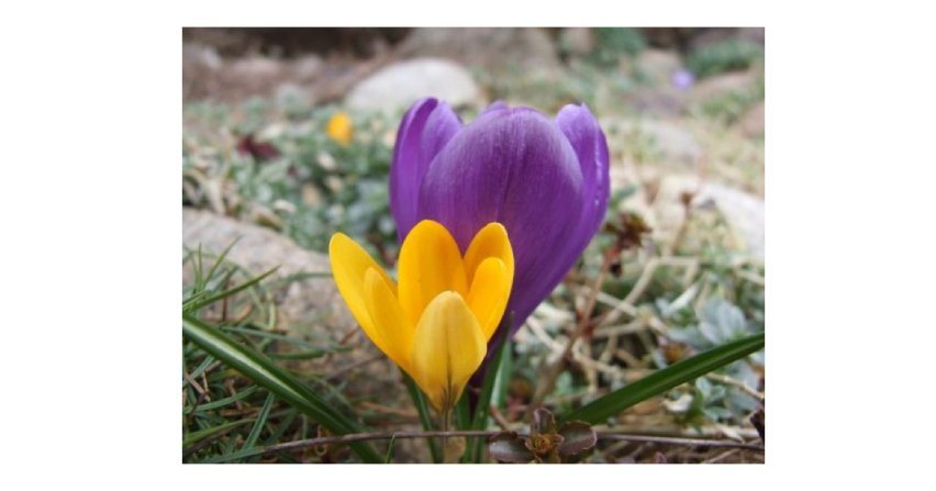 Oto jedne z najpiękniejszych kwiatów wiosny Fot. Franciszek Rochowczyk